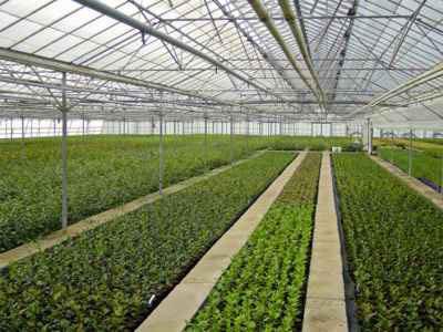 Camellia Stock