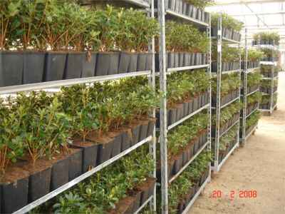 Azaleas ready for dispatch