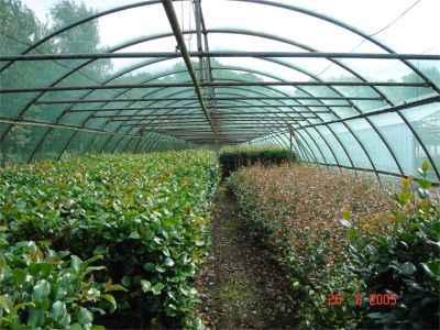 Camellia stock tunnel