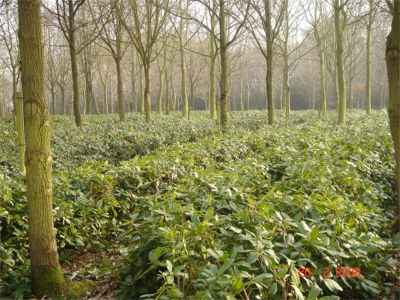 Rhododendron stock plants
