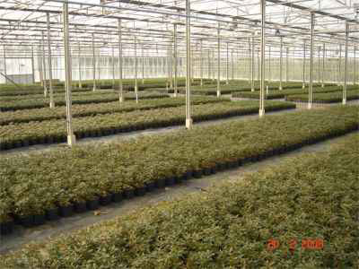 rhododendron production